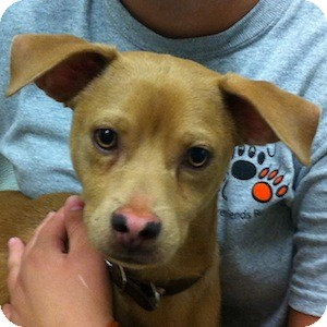 Dachshund/Labrador Retriever Mix Puppy for adoption in Gilbert, Arizona - Tobias