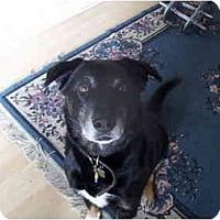 Adopt A Pet :: BURMA - Malibu, CA