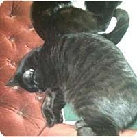 Adopt A Pet :: HAYES(BLACK TIGER) - Clay, NY