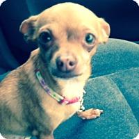 Adopt A Pet :: Honey - Rancho Cucamonga, CA