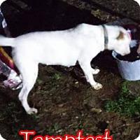 Adopt A Pet :: Tempest - Pineville, LA