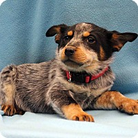Adopt A Pet :: Wilma - Westminster, CO