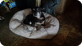 Chihuahua Dog for adoption in Quentin, Pennsylvania - Tori - Former Breeder Chi!