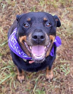 Rottweiler Dog for adoption in White Hall, Arkansas - Prada (Independent Adoption)