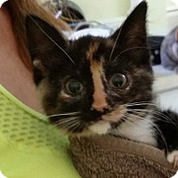 Domestic Shorthair Kitten for adoption in Port Clinton, Ohio - Badger