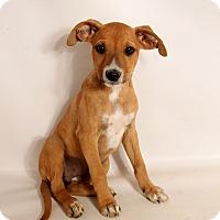 Adopt A Pet :: Harper Boxer Mix - St. Louis, MO