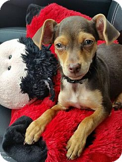 Chihuahua/Dachshund Mix Dog for adoption in Lewistown, Pennsylvania - Spencer