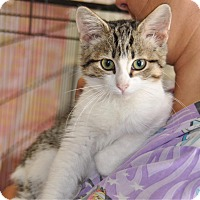 Domestic Mediumhair Kitten for adoption in Sunrise Beach, Missouri - Ivy