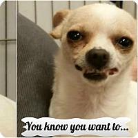 Adopt A Pet :: Addy - Casa Grande, AZ