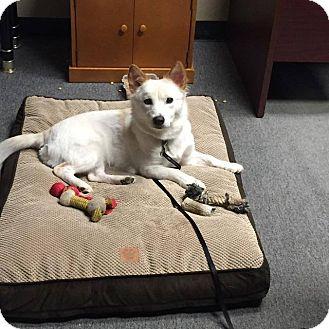 Spitz (Unknown Type, Small)/Jindo Mix Dog for adoption in Lucknow, Ontario - SNOW- Korean rescue