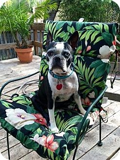 Boston Terrier Dog for adoption in Van Vleck, Texas - Cammie