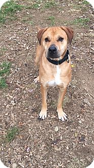 Labrador Retriever Mix Dog for adoption in South Park, Pennsylvania - Zane