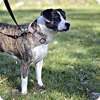 Beagle/Boxer Mix Dog for adoption in Midland, Michigan - Jenga - $25!