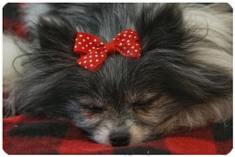 Pomeranian Dog for adoption in Dallas, Texas - Apple