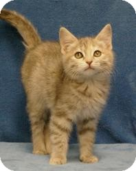 Domestic Shorthair Cat for adoption in Sacramento, California - CarrieAnn