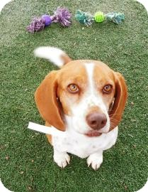 Beagle Mix Dog for adoption in Phoenix, Arizona - Paprika