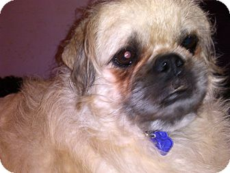 poodle pug mix mini adopted dog hagerstown md pug poodle 483