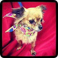 Adopt A Pet :: Zsa Zsa - Hazard, KY