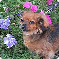 Adopt A Pet :: Scarlett - Rigaud, QC