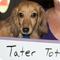 Adopt A Pet :: Tater Tot - Marcellus, MI