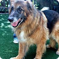 Leonberger/German Shepherd Dog Mix Dog for adoption in San Diego, California - Monte