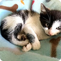 Adopt A Pet :: Dice - Island Park, NY