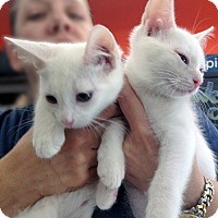 Adopt A Pet :: Casey and Casper, Snow-white Sweethearts - Brooklyn, NY