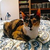 Adopt A Pet :: Calypso - Colmar, PA