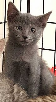Domestic Shorthair Cat for adoption in Cumberland and Baltimore, Maryland - Polaris