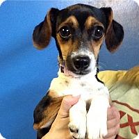 Adopt A Pet :: Tiffany  puppy - Pompton Lakes, NJ