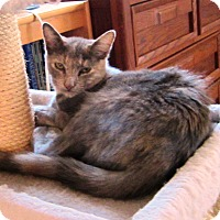 Calico Cat for adoption in Orange, California - Catera