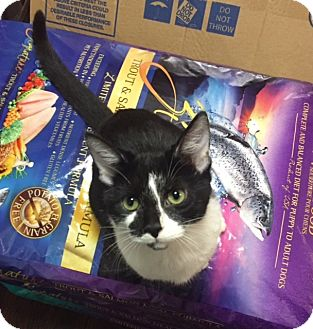 Domestic Shorthair Kitten for adoption in Baltimore, Maryland - Ana