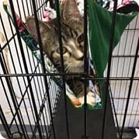 Adopt A Pet :: Socks - Branson, MO
