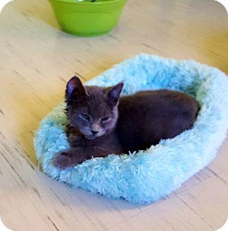 "Russian Blue Kitten for adoption in Scottsburg, Indiana - ""  Sheldon """