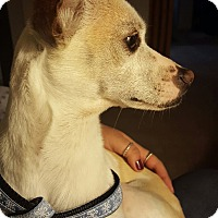 Chihuahua/Miniature Pinscher Mix Dog for adoption in Holliston, Massachusetts - Smiley