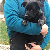 Adopt A Pet :: Puppy Colette - Brattleboro, VT
