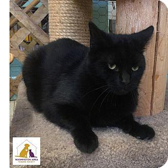 Domestic Shorthair Cat for adoption in Eighty Four, Pennsylvania - Tyrone