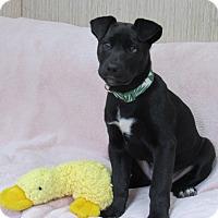 Adopt A Pet :: Pickles - Sonoma, CA