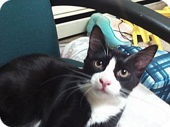 Domestic Mediumhair Kitten for adoption in wyoming valley, Pennsylvania - Newman