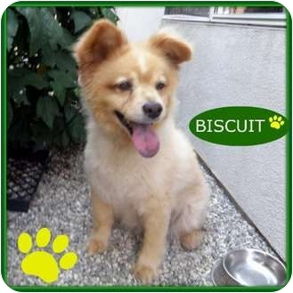 pomeranian chow chow mix buscuit adopted dog studio city ca chow chow 2412