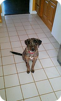 Catahoula Leopard Dog Dog for adoption in Conway, Arkansas - Stephanie