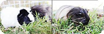 Guinea Pig for adoption in Fullerton, California - Simon and Jasper