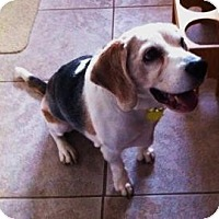 Adopt A Pet :: Buddy D'Elf - Phoenix, AZ