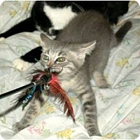 Adopt A Pet :: Cuddles - Scottsdale, AZ