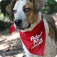Adopt A Pet :: Amos in CT - East Hartford, CT