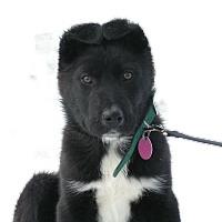 Adopt A Pet :: Bear - Rigaud, QC