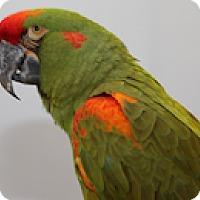 Adopt A Pet :: Gus - Asheville, NC