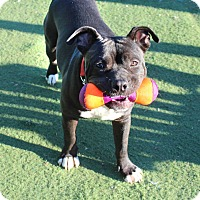 American Staffordshire Terrier Mix Dog for adoption in Toluca Lake, California - Luke Skywalker