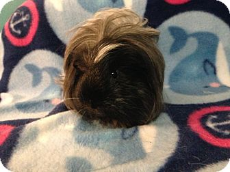 Guinea Pig for adoption in Coral Springs, Florida - Snezy (Neutered)