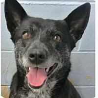 Adopt A Pet :: Callie - Springdale, AR